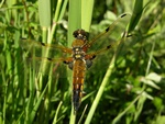 Fireplettet Libel (Libellula quadrimaculata)
